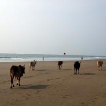 Vaches à Goa