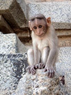 Petit singe à Hampi